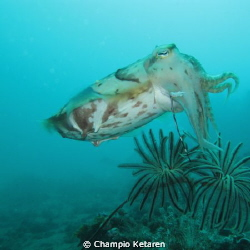 I took this pic at lembeh straits, and a cuttlefish swims... by Champio Ketaren